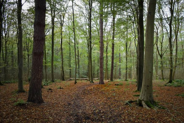 Friston Forest beech trees by Green Explorer (Tom)